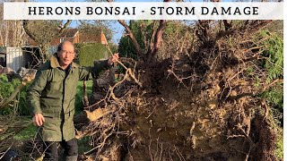 Herons Bonsai - After The Storm