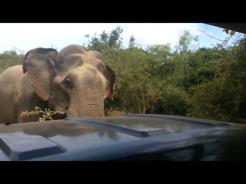 Gemunu Elephant Attack Yala National park , srilanka safari jeep