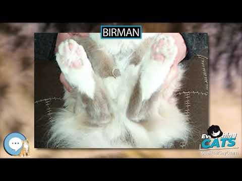 Birman 🐱🦁🐯 EVERYTHING CATS 🐯🦁🐱