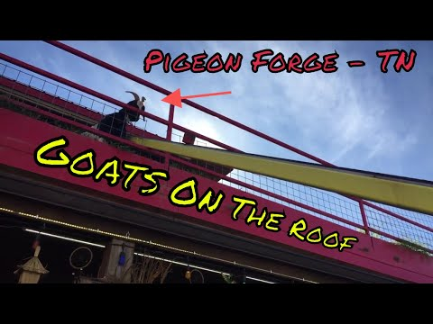 Goats On The Roof - Pigeon Forge, TN