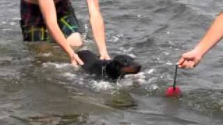 4 Month Old Doberman Pinscher Learning To Swim