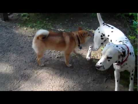 Random dalmatian doggy appears! - Battle to the death with Ozy!