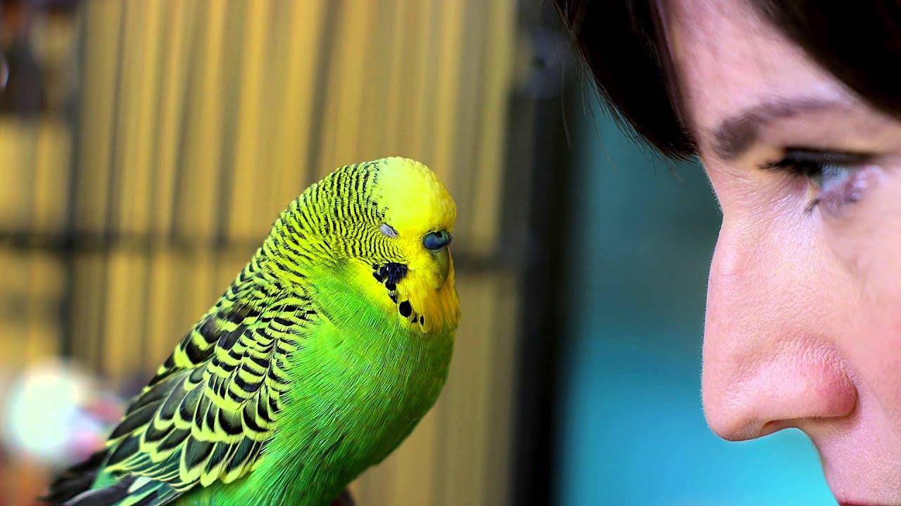 Disco The Talking Parakeet Pets Wild At Heart Youtube
