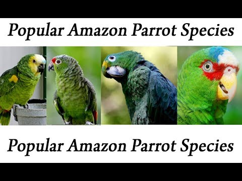 Popular Amazon Parrot Species
