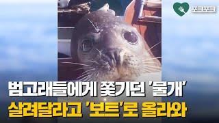 범고래 12마리에게 쫓기던 물개. 구해달라고 '…