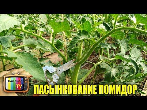 Как пасынковать помидоры в теплице видео