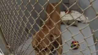 Athena Dog - Available For Adoption (lab/pit Bull Mix)