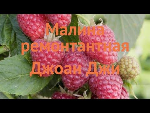 Малина ремонтантная Джоан Джи (rubus idaeus joan j) 🌿 обзор: как сажать, саженцы малины Джоан Джи