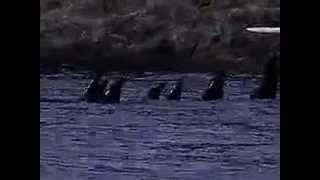 """Southern resident orca """"ceremony"""" (Oct. 4, 2005)"""