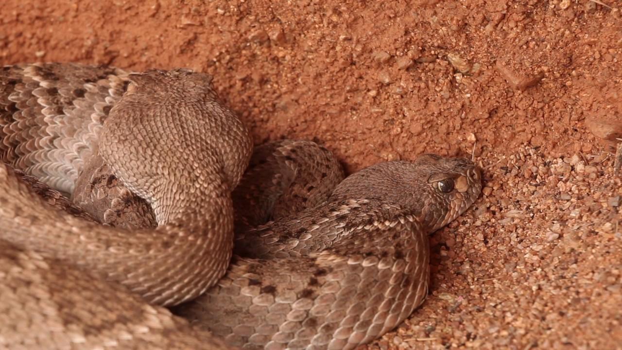 Male Western Diamondback Rattlesnake Crotalus Atrox Courting