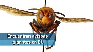 Alertan en EU por avispas gigantes que pueden matar personas