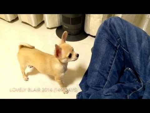 5 months old Chihuahua 11 tricks