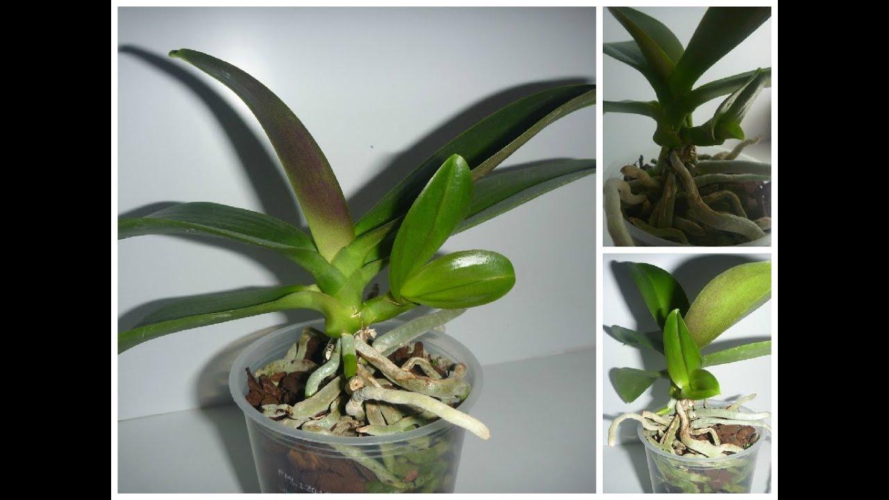 Пересадка орхидей в домашних условиях видео пошагово