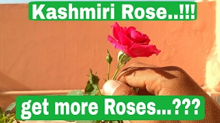 How to care rose plant, grow more Roses with rose food