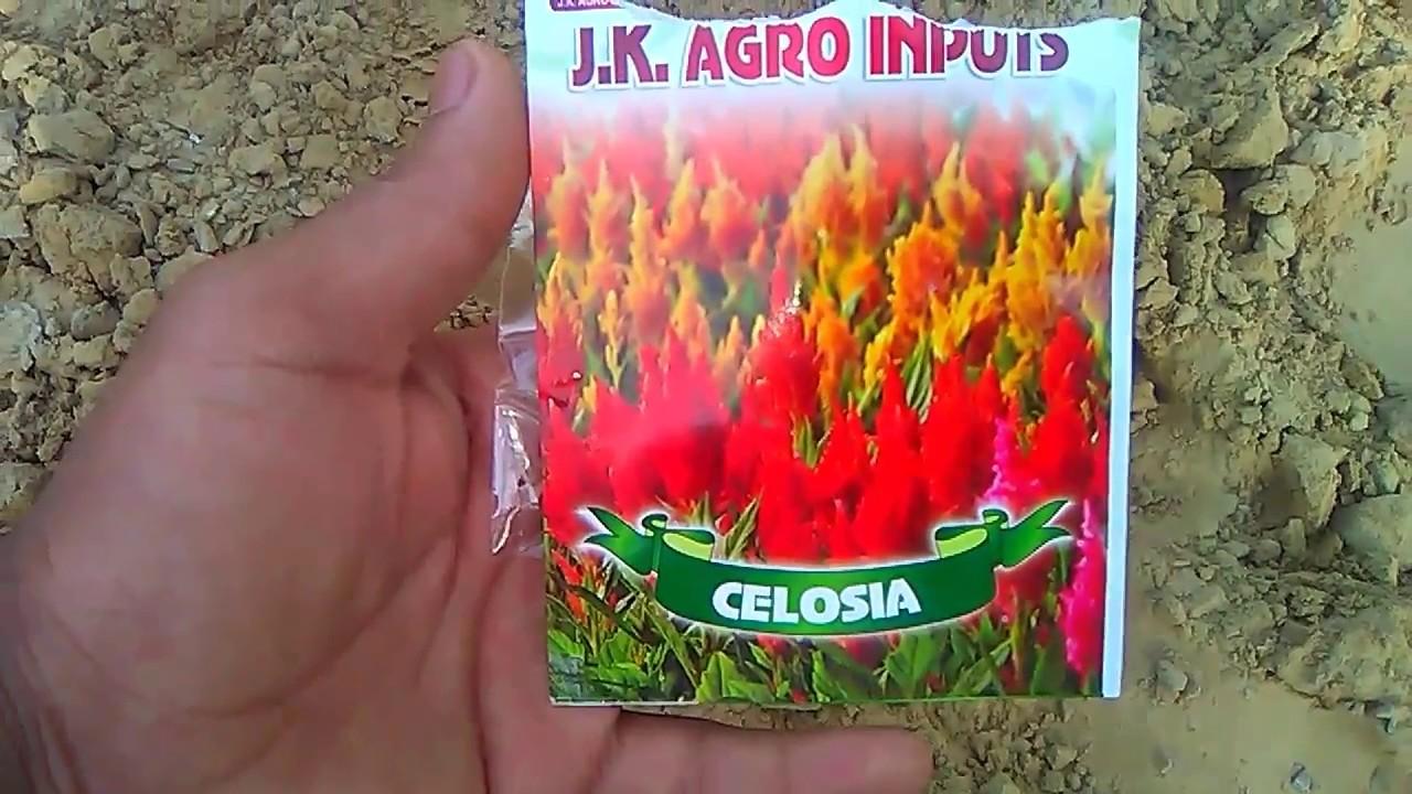 Aise Grow Kare Celosia Plant Me Seeds How To Grow Celosia Flower
