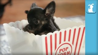 Funny Chihuahua Puppies Are Popcorn Puppies - Puppy Love