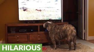 Bulldog calls for backup when hyenas appear on TV