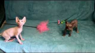 starlinecat.com Канадские сфинксы котята Мадонна и Месси помет М