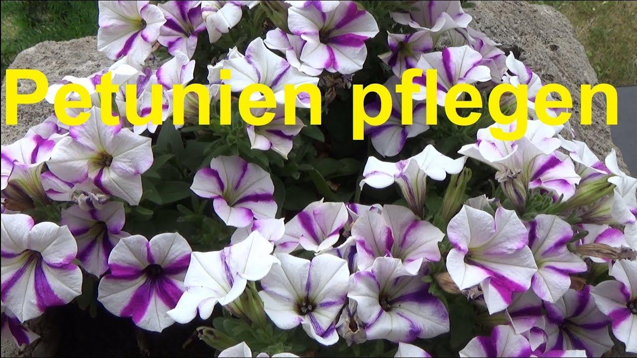 petunien pflegen pflanzen gie en d ngen berwintern standort petunia youtube