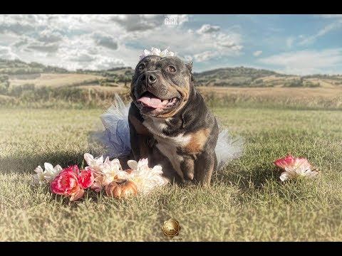 ms-mocha-red---pocket-american-bully-getting-ready-for-here-maternity-photo-shoot