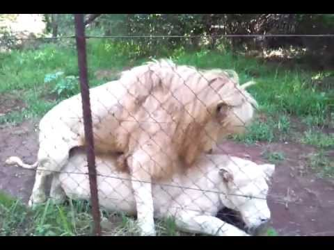 White tiger and lion mating