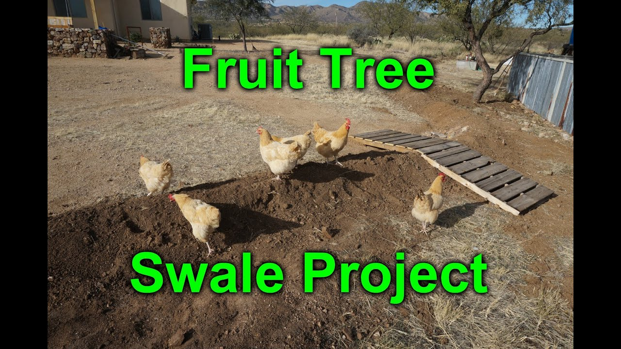 Micro Swale To Water My Fruit Trees Desert Permaculture