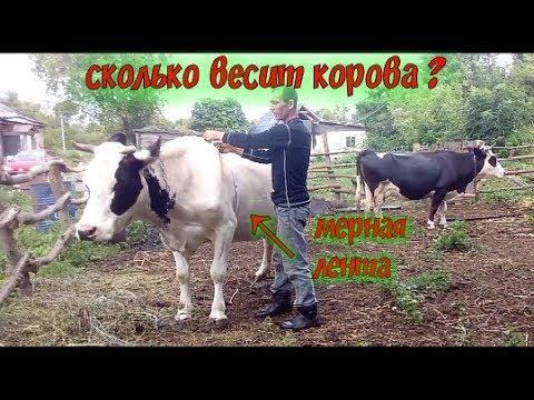 Как узнать вес быка, коровы // Лента для измерения живого веса молочных коров и телят/.