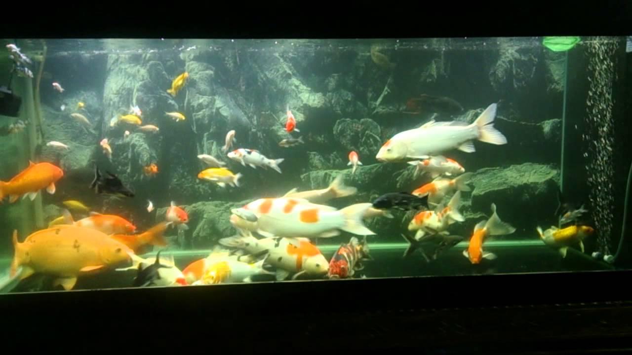 Koi in aquarium youtube for Koi fish tank setup