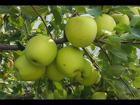 Яблоня Голден Делишес / Apple Golden Delicious /