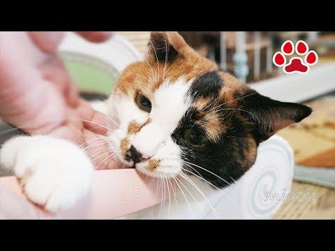 ねこじゃすりで猫をやすってみた 猫達の反応 I tried using cat groomer