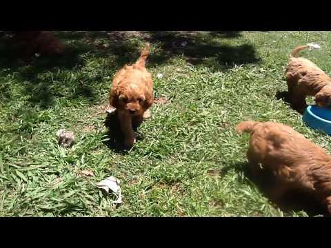Cavoodles aged 7 weeks