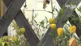 Неприхотливые садовые цветы  Клематис тангутский