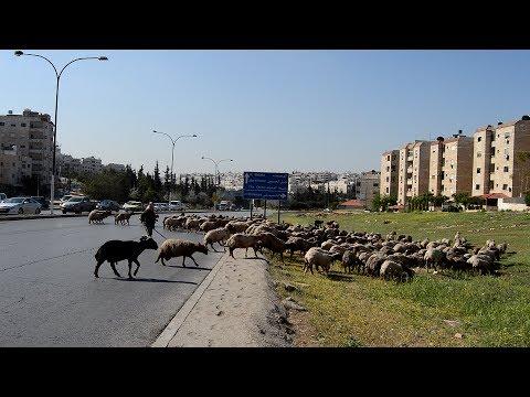 Sheeps crossing road in Amman