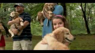 Golden Retriever Puppies  -  Dog Training And Breed Information