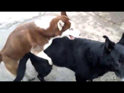 Хаски и Немец.  German shepherd and Syberian Husky