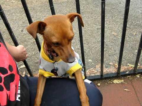 jonah-mini-pin-dog-needs-a-family-to-love-him!