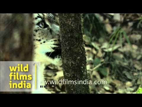 Snow Leopard sharpens teeth and rubs its fur