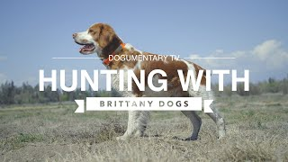 HUNTING WITH BRITTANY DOGS