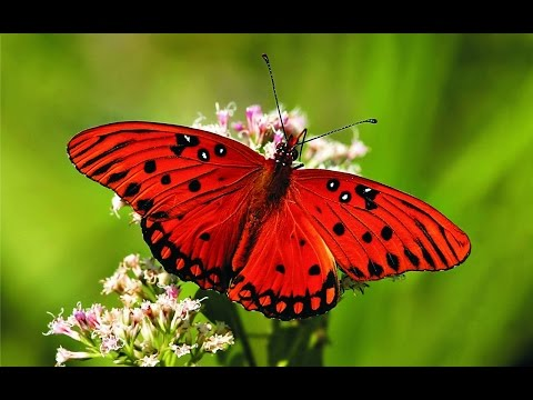 Butterfly - My Animal Friends - Animals Documentary -Kids Educational Videos
