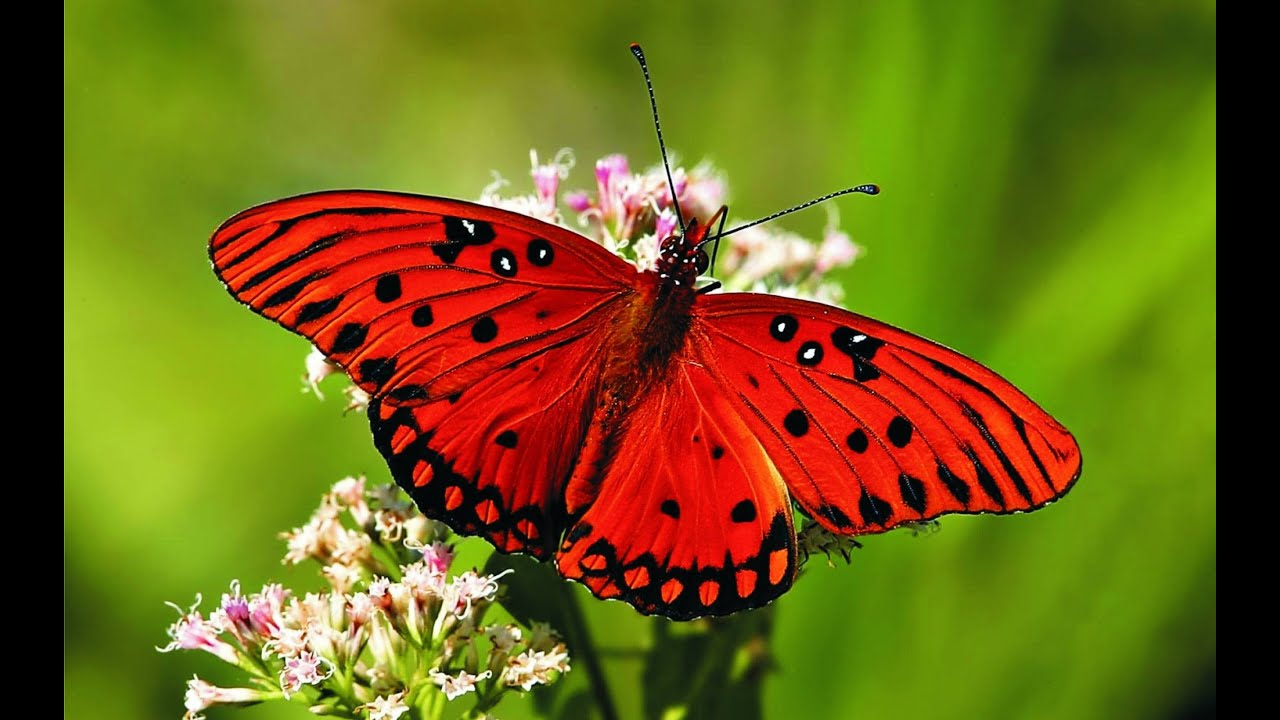 Roter Schmetterling Butterfly - My Animal Friends - Animals Documentary -kids