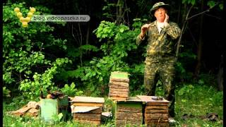 Как поймать пчёл, ловля роёв