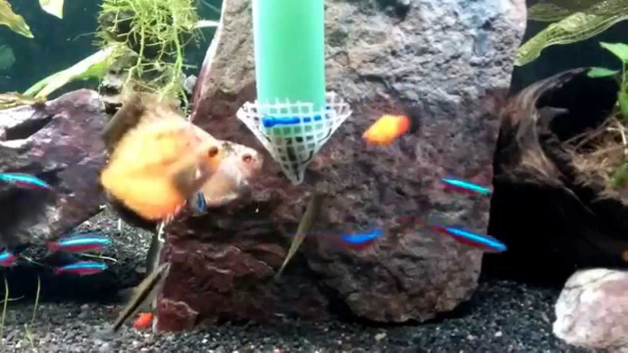 Diy feeding system contraption for discus in a planted for Feeder fish petco
