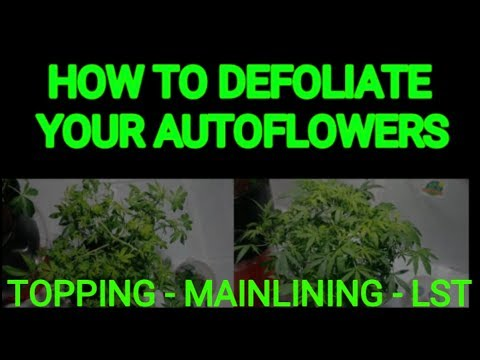 How to Defoliate your Autos for big yields. Topping, Mainlining & LST all explained.