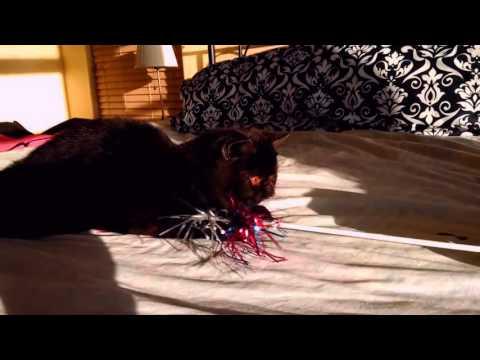 Ash - a Black Smoke Exotic Shorthair male kitten =^..^=