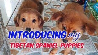INTRODUCING my TIBETAN SPANIEL PUPPIES MIX BREED    Part 1