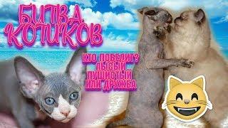 ❤ Битва котиков ❤ Лысый против лохматого ❤ Приколы С Котами  ❤ Канадский сфинкс