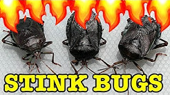 Stink Bug Pest Control Flamethrower Vs Water Save My Lemons