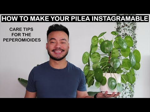 How To Care For Pilea Peperomioides | Houseplant Care Tips