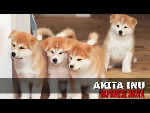 RARE: Japanese Akita (Akita Inu) The Japanese Strain of the Akita Breed. Double Coat (Like Huskies)
