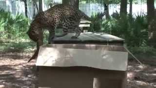 Любят ли большие Кошки коробки